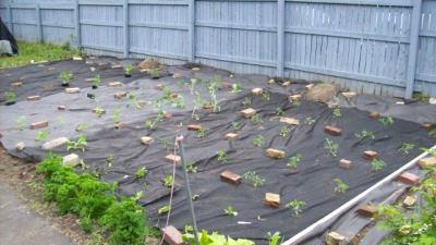Выращиваем клубгику
