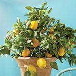 Лимон домашнее растение